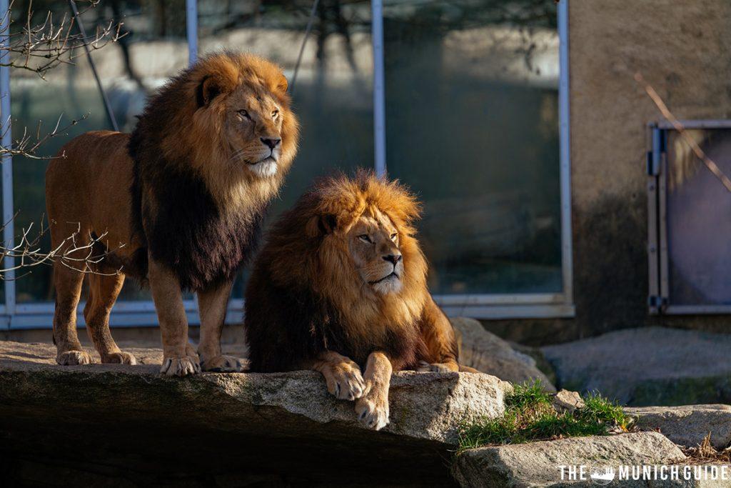 Lions in the Munich zoo Hellabrunn